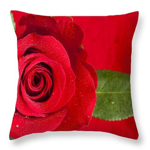 Flower Throw Pillow featuring the photograph Rose Flower Wet 1 B by John Brueske