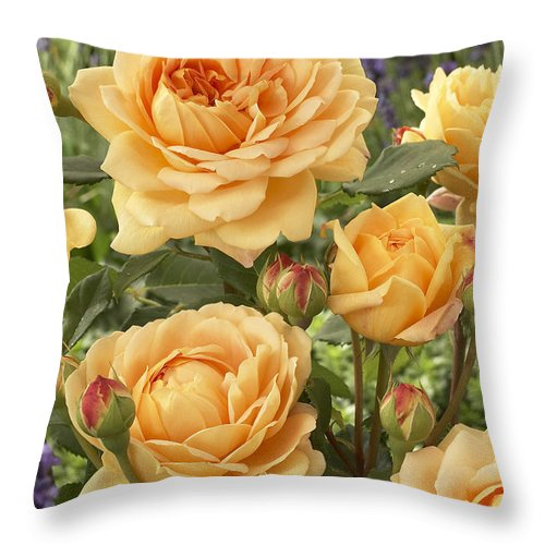 Vp Throw Pillow featuring the photograph Rose Rosa Sp Golden Celebration Variety by VisionsPictures