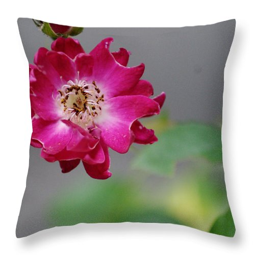 Rose Throw Pillow featuring the photograph Rose With Dew by Barry Doherty