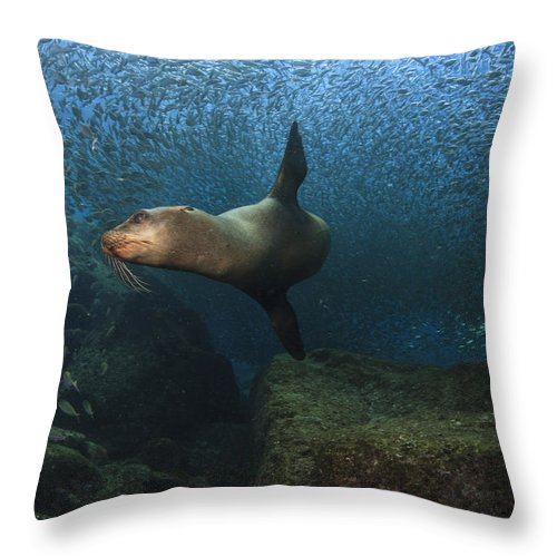 California Sea Lion Throw Pillow featuring the photograph Sea Lion Chasing A School Of Bait Fish by Todd Winner