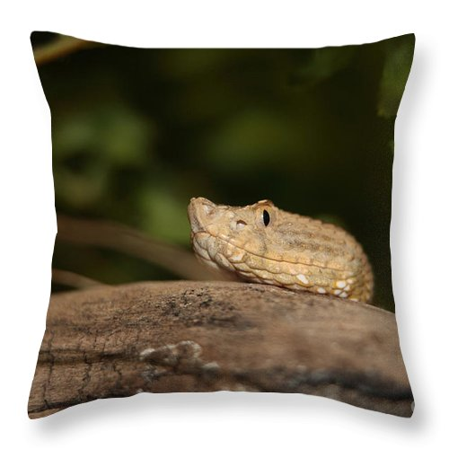 Adder Throw Pillow featuring the photograph Seeing Me Seeing You Ah Ha by Alan Look