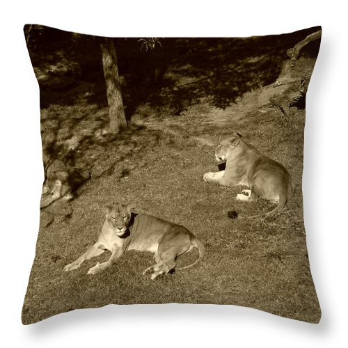 Lion Throw Pillow featuring the photograph Sepia Lionesses by Nina Fosdick