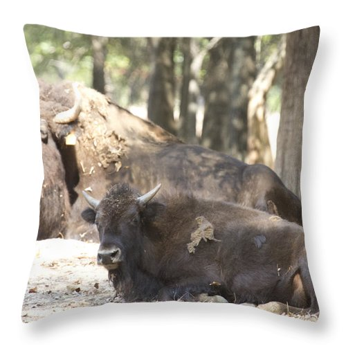 Buffalo Throw Pillow featuring the photograph Shaded Resting Place by Douglas Barnard