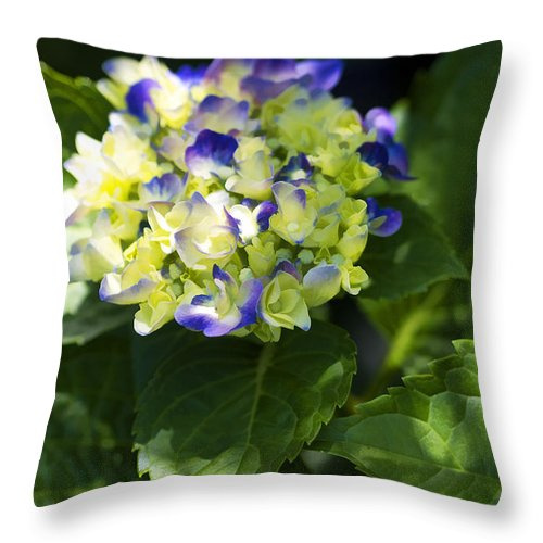 Hortensia Throw Pillow featuring the photograph Shadowy Purple And White Emerging Hydrangea by Kathy Clark