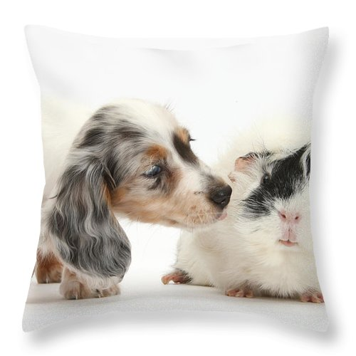 Silver Double Dapple Dachshund Pup Throw Pillow