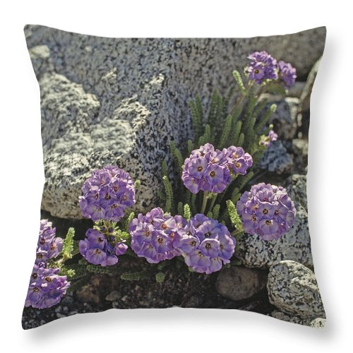 John Muir Wilderness Throw Pillow featuring the photograph Sky Pilot Polemoniums Are Highest by Gordon Wiltsie