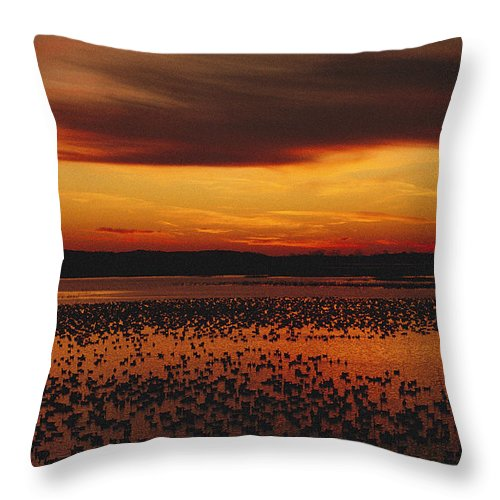 Scenes And Views Throw Pillow featuring the photograph Snow Geese Come To Rest In Squaw Creek by Joel Sartore