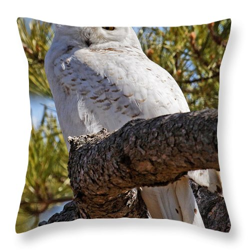 Snowy Owl Throw Pillow featuring the photograph Snowy Owl Resting by Lloyd Alexander