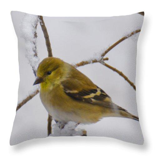 Usa Throw Pillow featuring the photograph Snowy Yellow Finch by LeeAnn McLaneGoetz McLaneGoetzStudioLLCcom