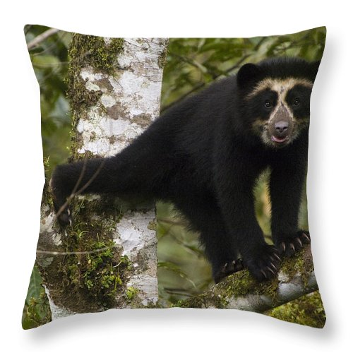 Mp Throw Pillow featuring the photograph Spectacled Bear Tremarctos Ornatus Cub by Pete Oxford