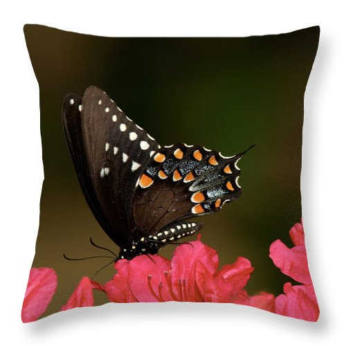 Butterfly Throw Pillow featuring the photograph Spice Bush Swallowtail And Azaleas by Lara Ellis