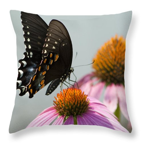 Papilio Troilus Throw Pillow featuring the photograph Spicebush Butterfly On Echinacea by Kathy Clark