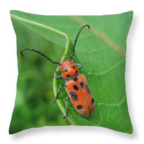 Beetle Throw Pillow featuring the photograph Spotted Asparagus Beetle - Crioceris Duodecimpunctata by Mother Nature