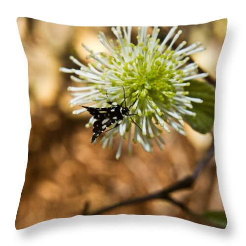 Fothergilla Throw Pillow featuring the photograph Spotted Moth On Fothergilla by Douglas Barnett
