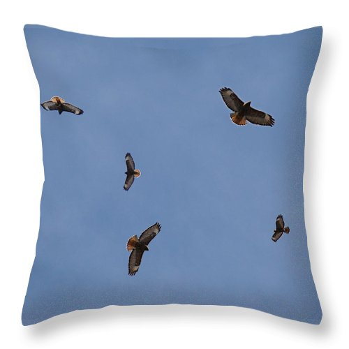 Red-tailed Hawk Throw Pillow featuring the photograph Spring Territorial Ritual by Nick Kloepping