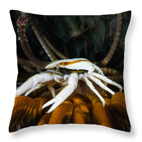 Arthropod Throw Pillow featuring the photograph Squat Lobster Carrying Eggs, Indonesia by Todd Winner