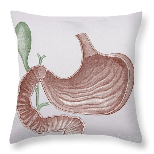 Abdominal Throw Pillow featuring the photograph Stomach And Bile Duct by Science Source