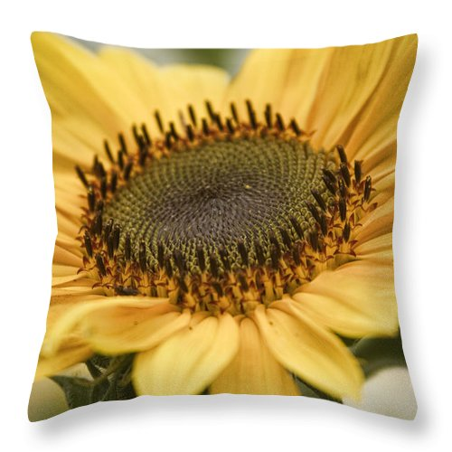 Colorful Throw Pillow featuring the photograph Sunflower Bloom by James BO Insogna