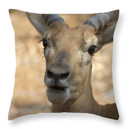 Antelope Throw Pillow featuring the photograph Surprise by Douglas Barnard