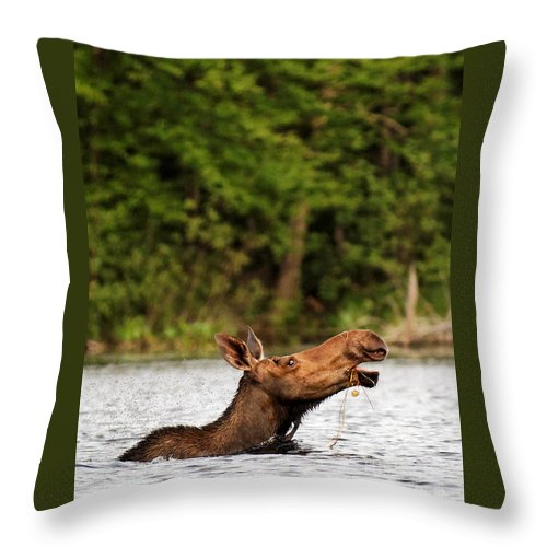 Moose Throw Pillow featuring the photograph Taking A Swim by Lloyd Alexander