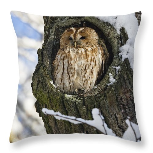 Mp Throw Pillow featuring the photograph Tawny Owl Strix Aluco In Nest Hole by Konrad Wothe