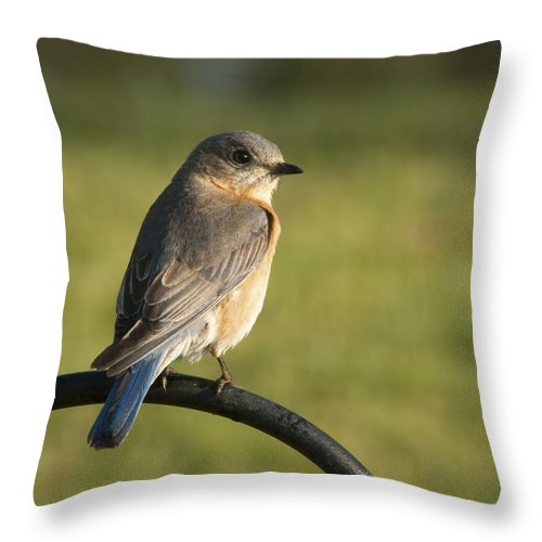Sialia Sialis Throw Pillow featuring the photograph The Bluebird Of Happiness by Kathy Clark