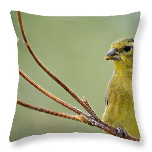 Lesser Gold Finch Throw Pillow featuring the photograph The Finch by Saija Lehtonen