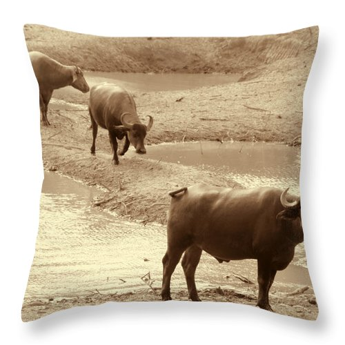Herd Of Water Buffaloes Throw Pillow featuring the photograph The Herd by Douglas Barnard