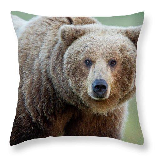 Alaska Throw Pillow featuring the photograph The Look by D Robert Franz