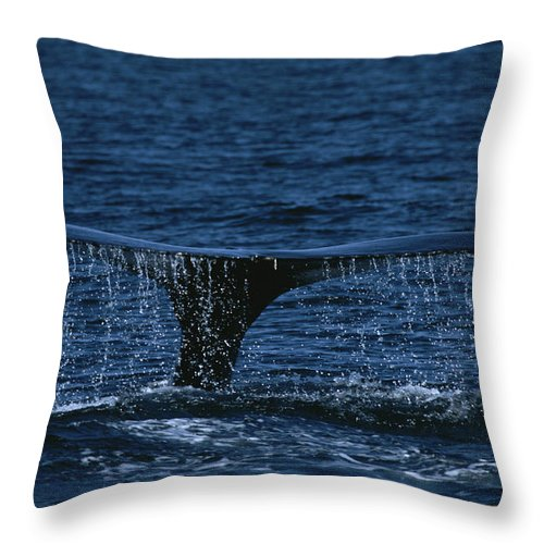 Water Throw Pillow featuring the photograph The Tail Flukes Of A Humpback Whale by Tim Laman