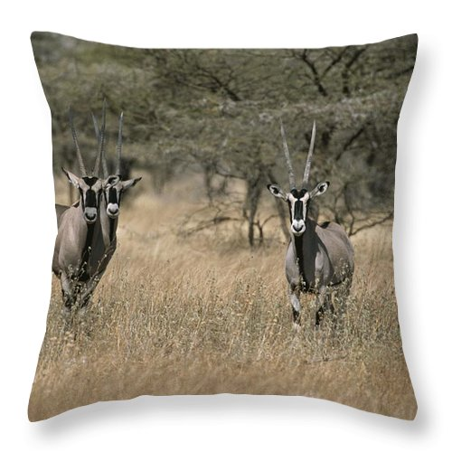 Africa Throw Pillow featuring the photograph Three Beisa Oryxes In Kenyas Samburu by Roy Toft