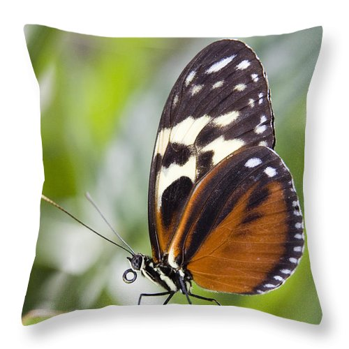 Light Throw Pillow featuring the photograph Tiger Longwing Butterfly Heliconius by Henry Georgi Photography Inc