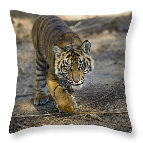 Mp Throw Pillow featuring the photograph Tiger Panthera Tigris Cub, Native by Zssd