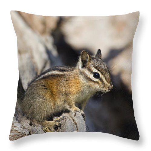 Mp Throw Pillow featuring the photograph Townsends Chipmunk Eutamias Townsendii by Konrad Wothe