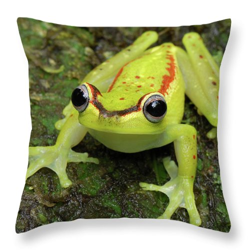 Mp Throw Pillow featuring the photograph Tree Frog Hyla Rubracyla, Colombia by Thomas Marent