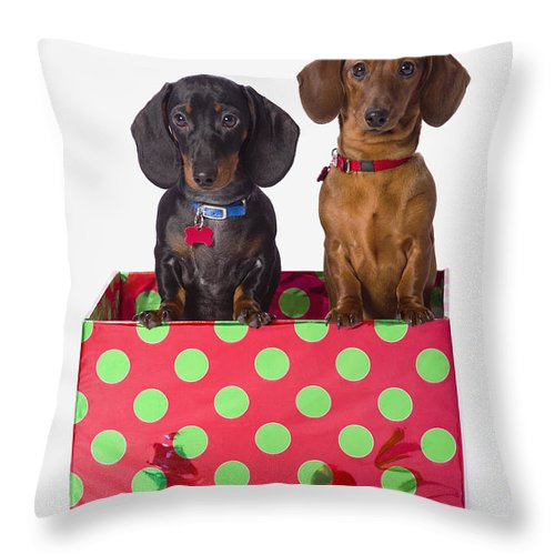 Ball Ornament Throw Pillow featuring the photograph Two Dachshund Puppies Inside A Polka by Corey Hochachka