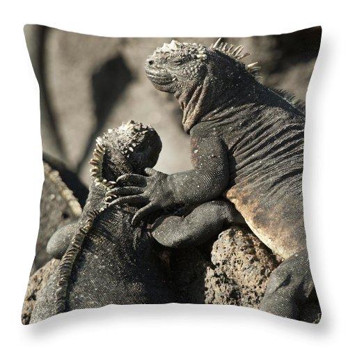 Amblyrhynchus Cristatus Throw Pillow featuring the photograph Two Marine Iguanas Amblyrhynchus by Keith Levit