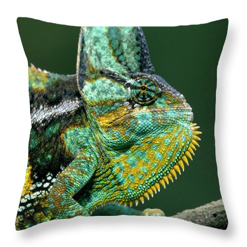 Fn Throw Pillow featuring the photograph Veiled Chameleon Chamaeleo Calyptratus by Ingo Arndt