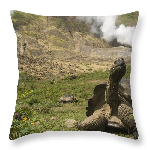 Mp Throw Pillow featuring the photograph Volcan Alcedo Giant Tortoise Geochelone by Pete Oxford