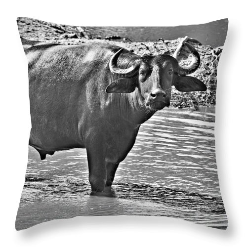 Water Buffalo In Black And White Throw Pillow featuring the photograph Water Buffalo In Black And White by Douglas Barnard