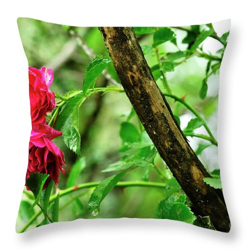 Grootendorst Supreme 1918 Throw Pillow featuring the photograph Wet Rogue Rose by Thomas R Fletcher