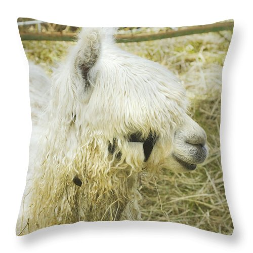 Alpaca Throw Pillow featuring the photograph White Alpaca Photograph by Keith Webber Jr