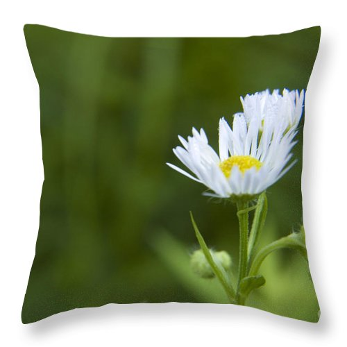 Wildflower Throw Pillow featuring the photograph White Aster Wildflower by Darleen Stry