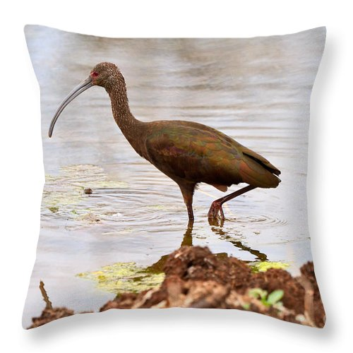 White-faced Ibis Throw Pillow featuring the photograph White-faced Ibis by Louise Heusinkveld