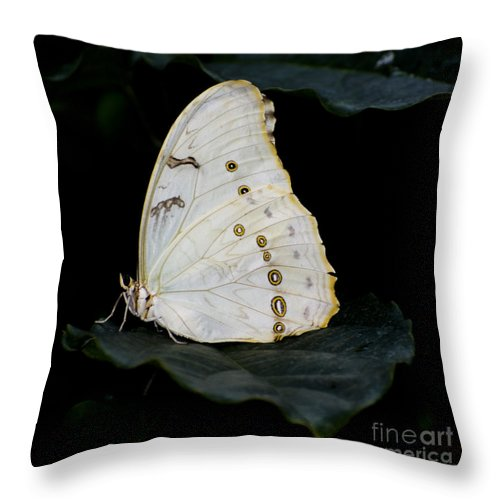 White Morpho Butterfly Throw Pillow featuring the photograph White Morpho by Heather Applegate