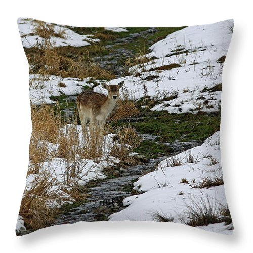 Whitetail Fawn In Winters Stream Throw Pillow featuring the photograph Whitetail Fawn In Winters Stream by Inspired Nature Photography Fine Art Photography