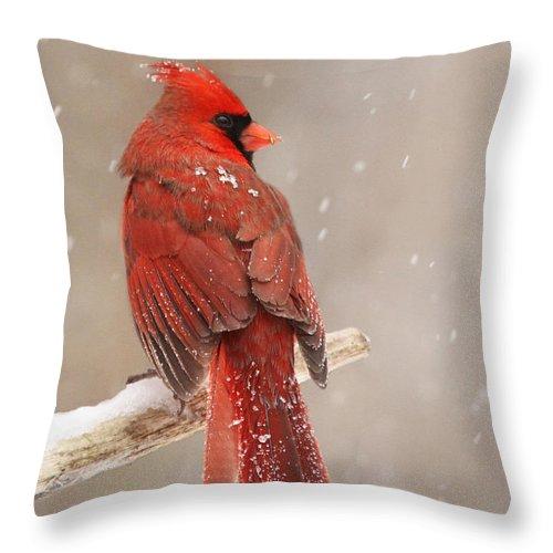 Northern Throw Pillow featuring the photograph Winter Cardinal by Mircea Costina Photography