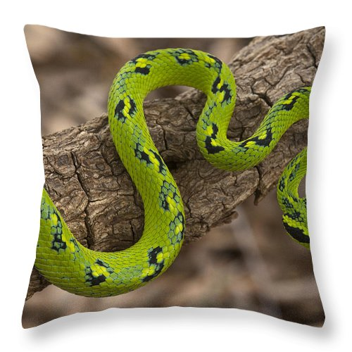 Mp Throw Pillow featuring the photograph Yellow-blotched Palm Pitviper by Pete Oxford
