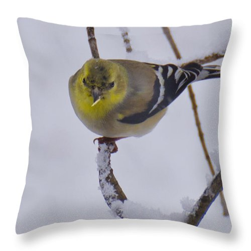 Usa Throw Pillow featuring the photograph Yellow Finch Cold Snow by LeeAnn McLaneGoetz McLaneGoetzStudioLLCcom
