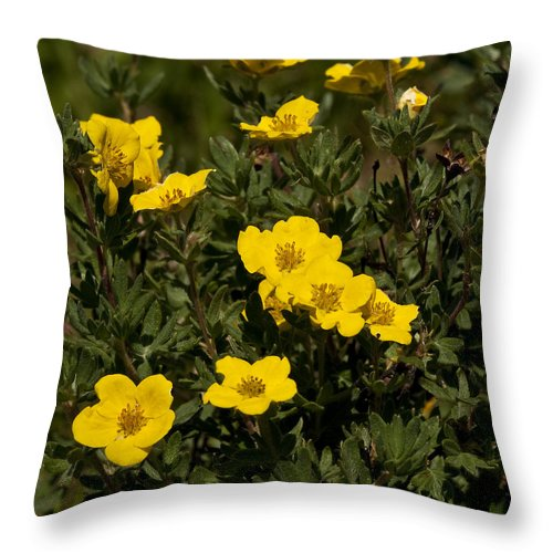 Yellow Throw Pillow featuring the photograph Yellow Potentilla Or Cinquefoils by Paul Cannon
